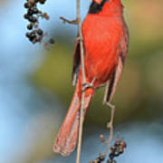 Northern Cardinal With Berry Poster