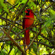 Northern Cardinal Work Number Two Poster