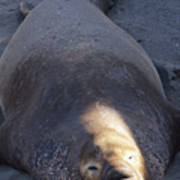 Northern Elephant Seal Poster