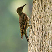 Northern Flicker Halo Poster