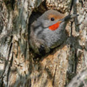 Northern Flicker Pokes His Head Out Poster