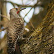 Northern Flicker Woodpecker 1 Poster