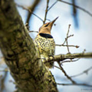 Northern Flicker - Woodpecker Poster