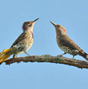Northern Flickers Communicate Poster