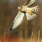 Northern Harrier Banking Poster