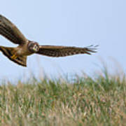Northern Harrier Hawk Scouring The Field Poster