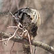 Northern Hawk Owl Having Lunch 9450 Poster