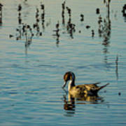 Northern Pintail At The Wetlands Poster