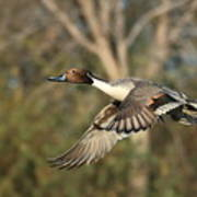 Northern Pintail Tree Poster