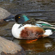 Northern Shoveler Duck Drake Poster