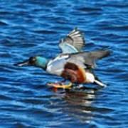 Northern Shoveler Duck Landing Poster