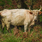 Northumberland Wild Cattle Poster