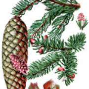 Norway Spruce, Pinus Abies Poster
