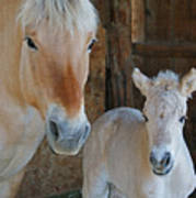 Norwegian Fjord Horse And Colt 1 Poster