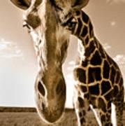 Nosey Giraffe Poster