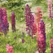 Nova Scotia Lupine Flowers Poster