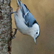 Nuthatch In Profile Poster