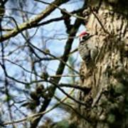 Nuttalls Woodpecker  Poster