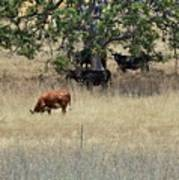 Oak Tree And The Cows Poster