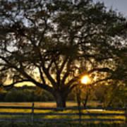 Oak Tree Sunset Poster