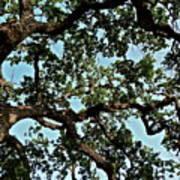 Oak Tree Three Poster