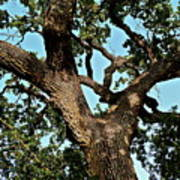 Oak Tree Two Poster