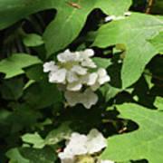 Oakleaf Hydrangea Floral Poster