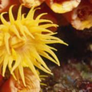 Oange Cup Coral, Tubastraea Coccinea Poster