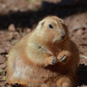 Obese Prairie Dog Sitting In A Pile Of Dirt Poster