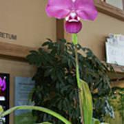 Ochid - Rare Phraremipedium Poster