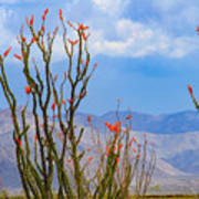 Ocotillo Cactus With Mountains And Sky Poster