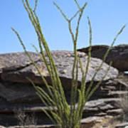 Ocotillo Of Desert Southwest Poster