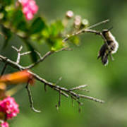 Odd Pose - Hummingbird Poster