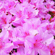 Office Art Azalea Flowers Botanical 31 Azaleas Giclee Art Prints Baslee Troutman Poster