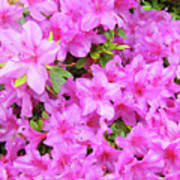 Office Art Azaleas Flower Art Prints 1 Azalea Flowers Giclee Baslee Troutman Poster