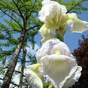 Office Art Giclee Prints White Yellow Iris Flowers Irises Baslee Troutman Poster
