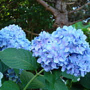Office Art Hydrangea Flowers Blue Giclee Prints Floral Baslee Troutman Poster