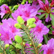 Office Art Pine Conifer Pink Azalea Flowers 38 Azaleas Giclee Art Prints Baslee Troutman Poster