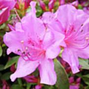 Office Art Pink Azalea Flower Garden 3 Giclee Art Prints Baslee Troutman Poster