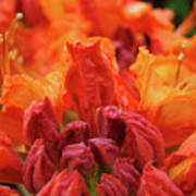 Office Art Prints Orange Azaleas Flowers 9 Giclee Prints Baslee Troutman Poster