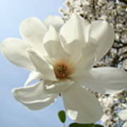 Office Art Prints White Magnolia Flower 66 Blue Sky Giclee Prints Baslee Troutman Poster