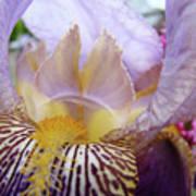 Office Art Purple Iris Flower Floral Irises Giclee Baslee Troutman Poster