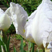 Office Art White Iris Flowers Giclee Art Prints Irises Baslee Troutman Poster