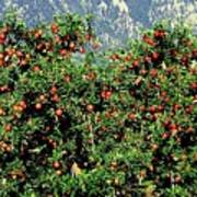 Okanagan Valley Apples Poster