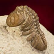 Oklahoma Trilobite. Poster