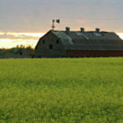 Old Barn In Canola Field Poster