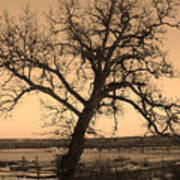 Old Crooked Tree Overlooking Mississippi River Poster