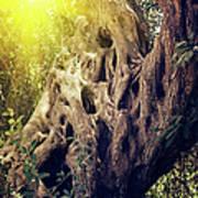 Old Sacred Olive Tree  Poster