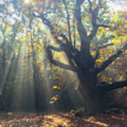 Old Tree And Sunbeams Poster