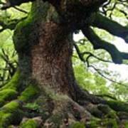 Old Tree In Kyoto Poster by Carol Groenen